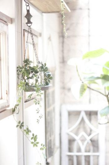 """でも、""""緑""""は生命あるもの。 葉は茂り、蔓は伸びていく。 床やテーブルが占拠されるのは、その成長に心和ませていても、やはり困るものです。"""