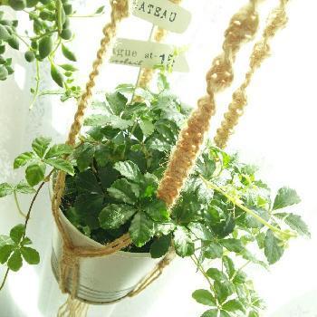 鉢やグリーンに凝らないで、紐に凝ってみるというのも、一つのアイデアです。