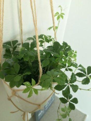 鮮やかなフレッシュグリーンにはシンプルな麻ひもと白い鉢がよく似合います。