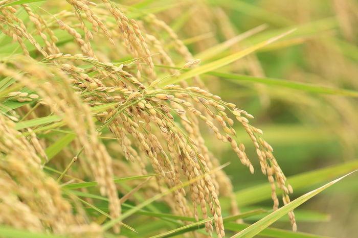 稲の果実である籾(もみ)米から、籾殻(もみがら)のみを除いた精白していないお米『玄米』。