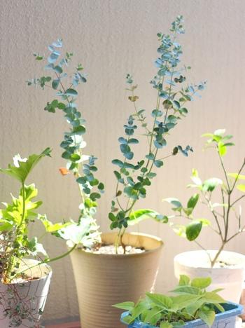 旺盛な生育力なので、どんどん育っていきます。剪定した葉っぱは、ぜひおうちで飾ってあげましょう。