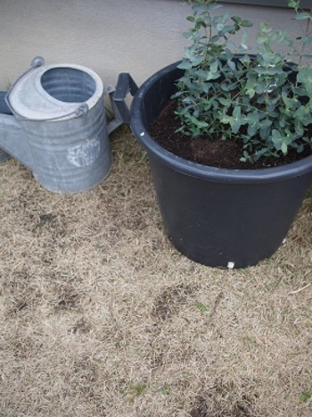 ユーカリの種類にもよりますが、30センチほどの丈の鉢植えが三年ほどで二階にまで届くくらいになることもあるそうですよ。
