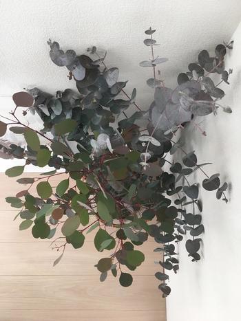 お花屋さんでよく見かける品種のポポラス。葉はやわらかく、生育が旺盛です。オービフォリアにとてもよく似ていますが、ポポラスの方が葉脈がはっきりとして見えます。