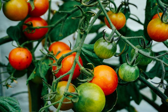 大好きな野菜、自分の手で収穫したものは美味しいだろうなぁ~と考えたことありませんか?実際自分で育てた野菜はもう本当に美味しいのです!畑とかなくても大丈夫?という方も今ではマンションのベランダで、プランターで野菜を栽培することができてしまいます。おすすめはミニトマトやオクラ、キヌサヤやししとう、きゅうりなど。これからの季節は日差しを遮る役割も担う緑のカーテンでゴーヤーはいかがでしょう?子供たちの夏休みの自由研究にもいいですね☆食育の観点からも是非お野菜の家庭菜園や自家栽培をおすすめします!