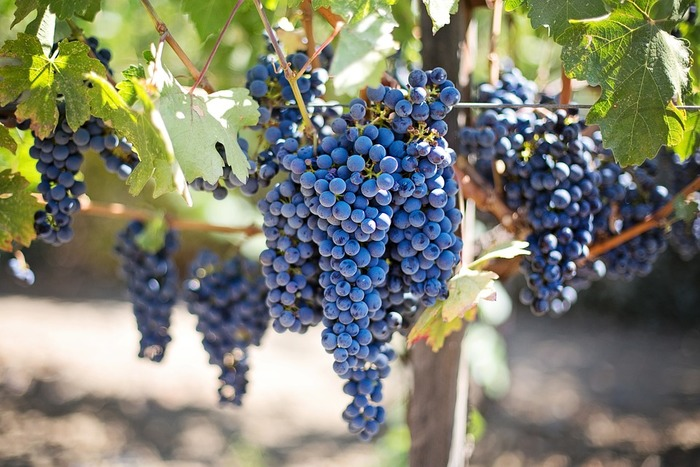 ブドウの紫って、とても綺麗!アントシアニンという色素が含まれていて染め物にはぴったりです。使うのはブドウを食べた後の皮でOK!たくさん集めるのは大変なので、冷凍保存して集めましょう。ジュース(100%のもの)やワインも機会があればお試しを♪