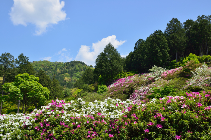 京都府宇治市にある三室戸寺は、「つつじ寺」とも呼ばれており、関西を代表するツツジの名所です。