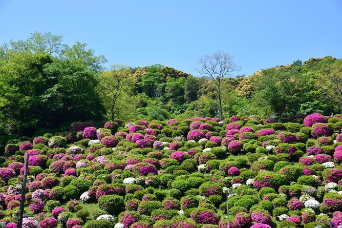 南禅寺や蹴上インクラインといった京都を代表する観光地にほど近い蹴上浄水場では、4000株以上ものツツジが美しい花を咲かせます。