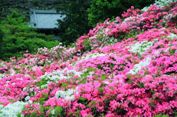 様々な品種のツツジ約2万株が開花し、境内を花で埋め尽くす様子は圧巻です。ツツジが見頃を迎える時期には、シャクナゲも見頃を迎えるので、三室戸寺は大勢の参拝客で賑わいます。