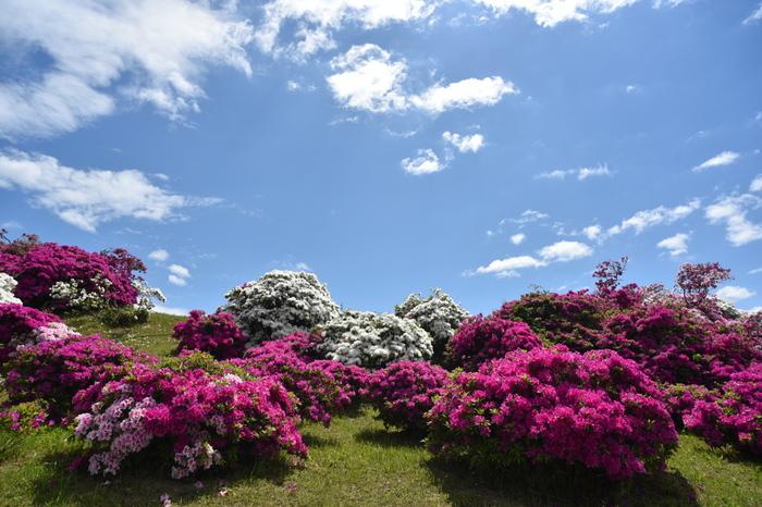 大阪府堺市にある浅香山緑道では、毎年晩春になると約2000株ものツツジが一斉に花を咲かせます。