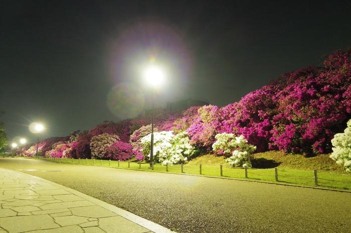 総延長600メートルの道には、樹齢約80年ほどのツツジの老木が見事な花を咲かせ、訪れる人々を魅了してやみません。
