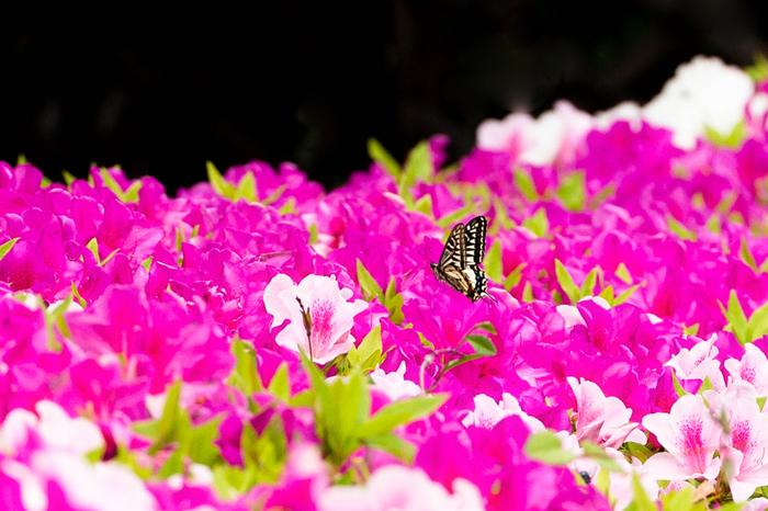 日本庭園だけでなく、ツツジの名所としても有名な相楽園では、毎年ツツジが見ごろを迎える頃に「つつじ遊山」が開催されます。