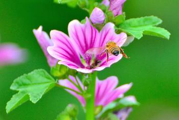 花もこの通り、大きくて実にに美しい紫色をしています。外国では一般家庭でも良く栽培されているのだそう。ビジュアル・内容ともにこんなにも優秀なハーブって、少ないのではないでしょうか?