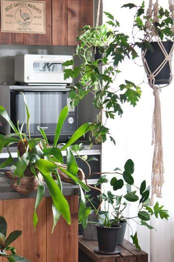 窓際のスペースに、無造作に並べた観葉植物。  そのままでは雑駁で面白味がありませんが、上部に吊り下げた蔓性植物、ハンギングロープと相まって、雰囲気の良い空間に仕立てています。