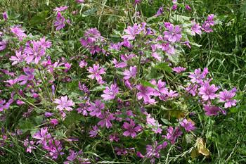 大きくなると花も葉もたっぷりボリュ-ミー!次から次へと咲く花は、雨に当たると花びらが溶けたようになるので注意が必要。