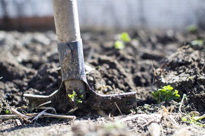 マロウは、あまり枝分かれしない直根性で、一度植えたら移植を好みません。植え付けの際は、根を傷つけないようにしましょう。土は水はけが良く、日当たりの良い場所がおススメ。アオイだけに、花丈がけっこう高くなるので強風に注意、支柱などで支えてあげて。