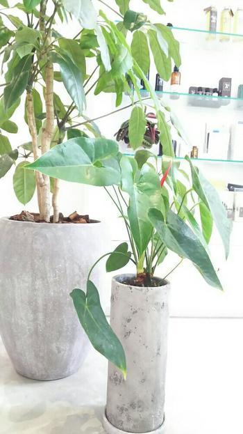 サトイモ科の観葉植物は、葉の形が独特で、スタイリッシュな空間によく合います。  鉢一つでも十分に存在感がありますが、同じように大ぶりな葉っぱの鉢と並べるのも楽しいものです。