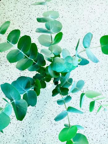 銀丸葉ユーカリとして知られているもっとも一般的な種類のひとつで、とても育てやすいユーカリです。初心者向けのユーカリと言えます。