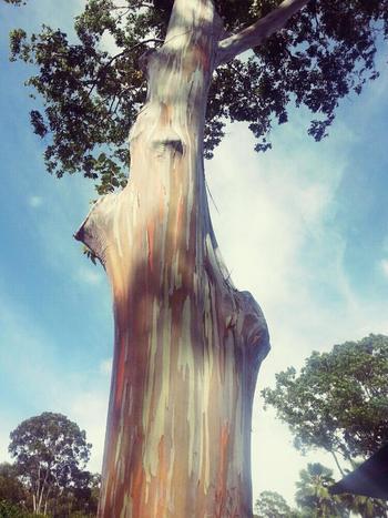 こちらは北半球で自生する高木樹のカラフルな珍しいユーカリ。樹皮が毎年めくれ、その中から明るい黄緑色の新しい樹皮が現れ、それもまた時間が経つごとに黄緑から青、青から紫、その後オレンジから栗色へとどんどん変化を遂げます。そのため木によって全く色合いが異なります。