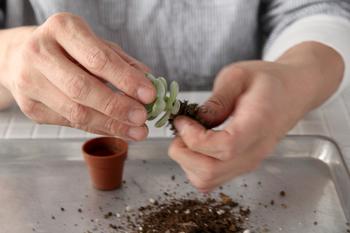 多肉植物の苗を買ってきたらまず中身を傷つけないように優しく出し、土を落とします。余分な根も少し切り落としておきましょう。