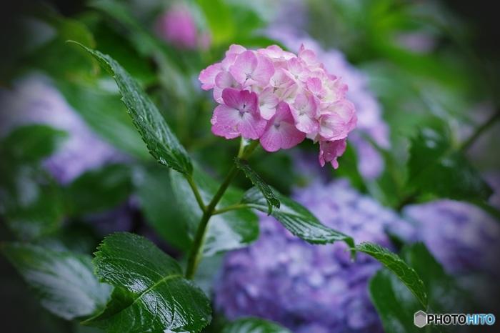 梅雨の頃の境内。「智積院」の紫陽花は特に有名です。しっとりとした雰囲気の中をのんびり散策してみませんか?