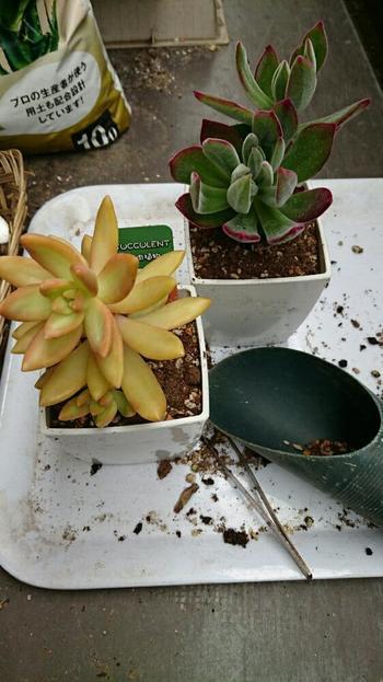 生育が進んで鉢が小さくなったり、根腐れを起こしてしまった場合などには、植え替えが必要です。植え替えの適期は春先か秋口で、真夏や真冬は控えます。植え替えすると1か月ほどで発根しますので、それまでは土の表面が乾いたらしっかり水やりをしましょう。
