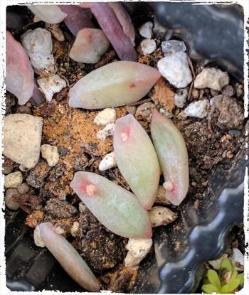 葉挿しと言っても挿すわけではありません。土の上に置くだけ。不思議ですよね。注意することは、必ず根が出てから水やりをすること。根が出る前は、根っこが腐ってしまうので水やりはNGです。