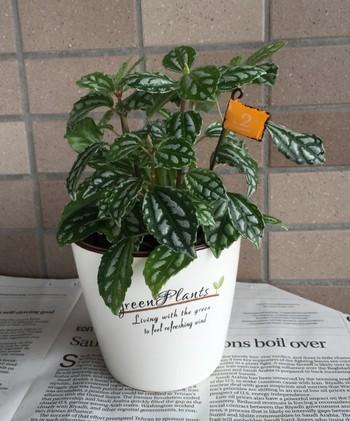 白い陶器製の容器にピレアという観葉植物を植えています。葉の模様がとてもキレイで、特に肥料がなくても、スクスクと育ってくれます。