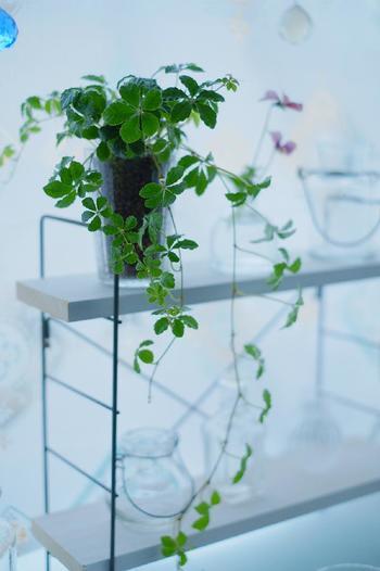 シュガーバインを窓辺で育ててお部屋の空気を浄化しましょう。ガラスの器ならではのクリアな透明感や光り方が見ていて心安らぎます。