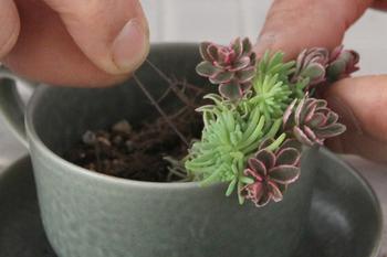 立たせたい苗があるときは、ワイヤーをU字型に曲げたピンを、茎をまたぐように挿して止めるのもおすすめのテクニック。