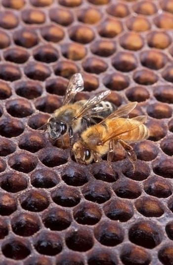 ミツロウとは、働きバチが、巣の材料として分泌するうろこ状のロウ(bee wax)。  働きバチは、これらのロウを、脚で口に運んで噛み砕き、こねて、ハニカム(正六角形)の頑丈な巣を作り上げ、花の蜜や花粉などを貯蔵しながら、子育てをします。1kgのミツロウは、その20倍あまりの重みに耐えるそうです。  ミツロウと私たち人間とのかかわりは、紀元前5000年頃に遡ります。はじめはクリームの原料に、その後はキャンドルも作られはじめました。人体に害を与えないロウとして、キャンドルにも、コスメにも使うことができます。
