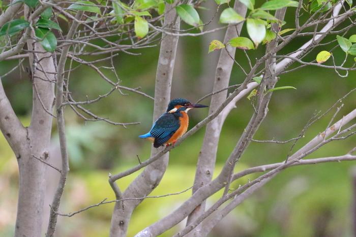 きれいに手入れされた庭を愛でるのはもちろん、野鳥も訪れる人をもてなしてくれます。写真は、カワセミ。水辺にいることが多いので、注意して探してみましょう。