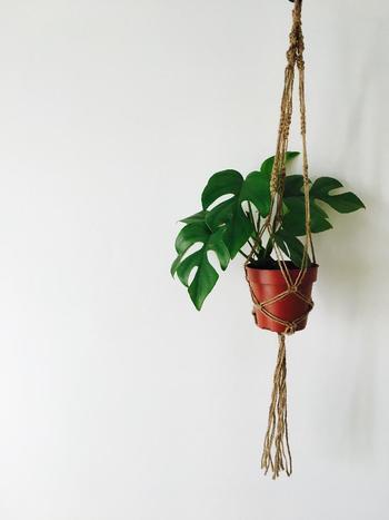 成長すると、葉の形がハート型から切れ込みが入りエキゾチックな印象になるモンステラ。ヒメモンステラは小型なのでお部屋のインテリアにぴったりです。