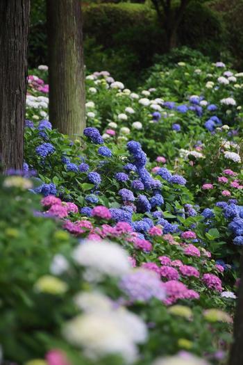 """「三室戸寺」の紫陽花は、品種多く、色とりどり。近年は、見つけると恋愛成就すると云われる""""ハート型""""の紫陽花で人気を博しています。"""