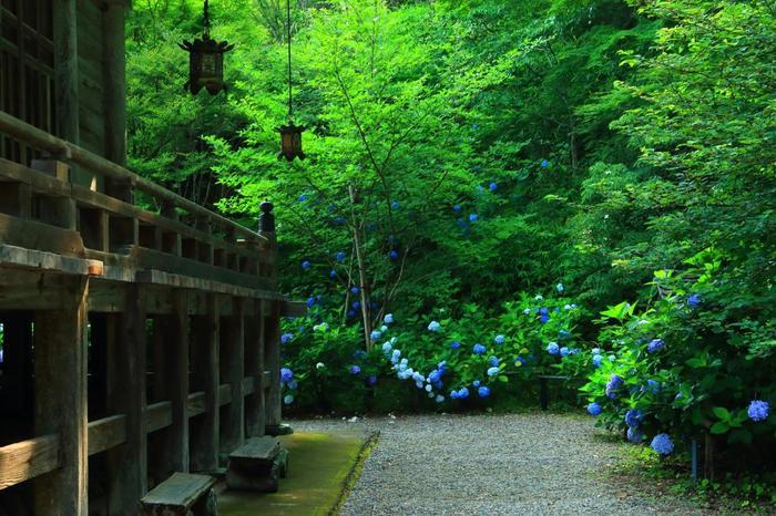 紫陽花の見頃は、例年6月初旬から7月初旬。最も美しいのは、6月中旬から下旬にかけてです。