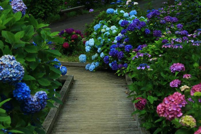 自然文化園の紫陽花は、例年6月初旬頃から咲き始め、見頃は、6月中旬から7月初旬頃。