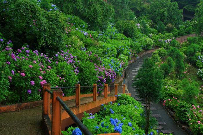 山の深緑、草木の緑の中に広がる紫陽花の景色は圧巻。ここでしか味わえない花景色です。