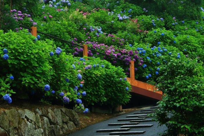 """「白山あじさい苑」は、善峯寺境内の斜面に設けられた""""紫陽花の園""""。3000坪にも及ぶ苑内には、約1万株の紫陽花が植えられ、季節になると山肌を覆い尽くすばかりに咲き開きます。"""
