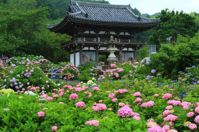 """「丹州観音寺(たんしゅうかんのんじ)」は、""""あじさい寺""""として名の通る、京都屈指、関西屈指の紫陽花の名所です。 【画像は、紫陽花に埋もれる「仁王門」。】"""