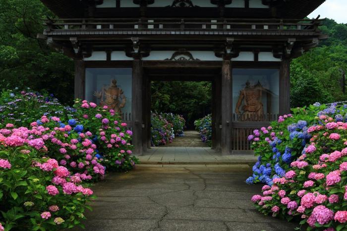 「丹州観音寺」に植えられている紫陽花は、1万株。種類は、その数100にも及び、白、紫、ピンクと色とりどり。