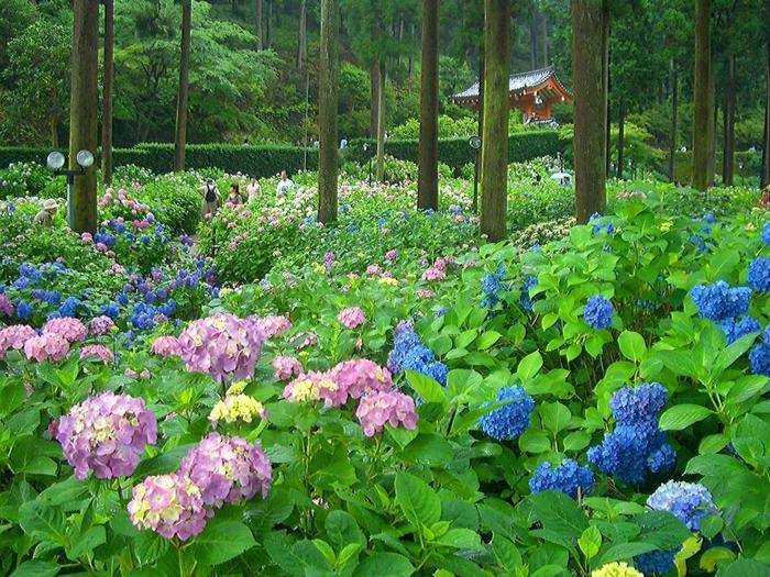 「三室戸寺」の紫陽花の眺めは、関西一と言っても良いほどの花景色。森閑とした杉木立の間を埋め尽くすように、紫陽花が咲き開きます。