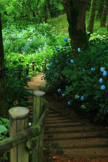見頃の時期には『舞鶴自然文化園 アジサイまつり』が開催されます。詳細は公式サイトで確認しましょう。