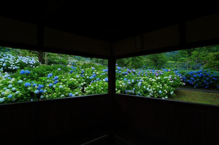 中でも素晴らしいのが、2haにも及ぶ「アジサイ園」。約10万株、100種の紫陽花が埋め尽くすように植えられています。