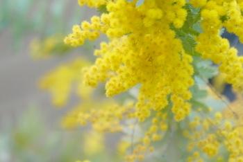 「ミモザ(Mimosa)」は、もともとは「マメ科オジギソウ属」の植物の総称です。フサアカシア、ギンヨウアカシアなどの黄色い花をつける「マメ科アカシア属」の俗称で、アカシア属の花がオジギソウ属の花と類似したポンポン状の形態であることから誤用され、現在ではこちらが主流になっています。 オーストラリア原産で、開花時期は3月から4月頃です。 Mimosaはギリシャ語の「mimos(人真似)」が語源。この属のオジギソウが人のように動くことに由来しています。