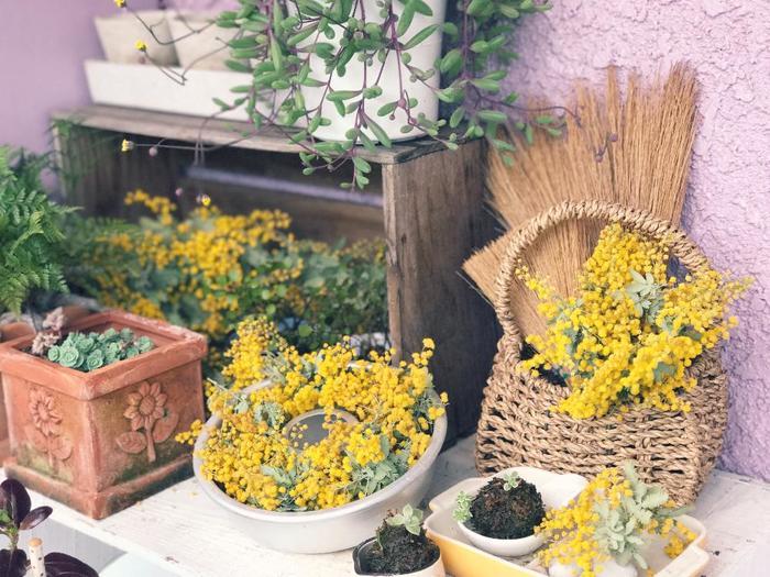 春はミモザの季節です。 みなさんも可憐で愛らしいミモザの花を愛でてみてはいかがでしょうか。