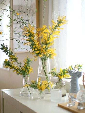 たくさんの花瓶に、長いミモザや、短いミモザを。春いっぱいの賑やかなディスプレイです。