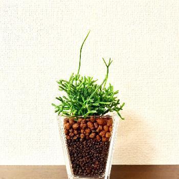 不思議な雰囲気のある、リプサリスという植物。インテリア性の高い寄せ植えは、バランス良くおしゃれな印象です。