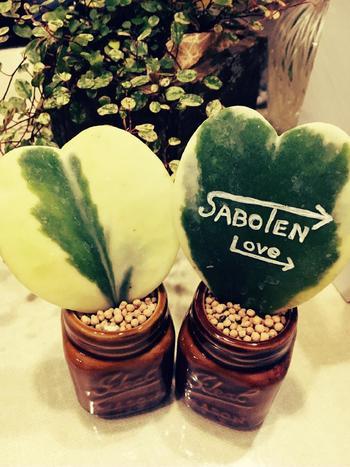 ハートホヤという多肉植物に、好きな言葉や文字を記入すると、何だかメッセージボードのようですね。