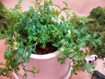 レインボーファンという名前の植物は、クラマゴケという種類なのだそうです。葉っぱから直に水分を吸収することもできるそう。