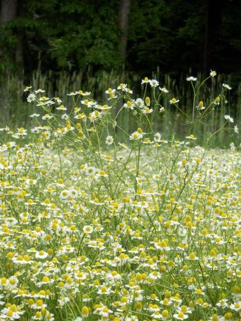 可憐な白い花を咲かせるカモミールと青い空が作り出す景色は、まるで一枚の絵のようです。