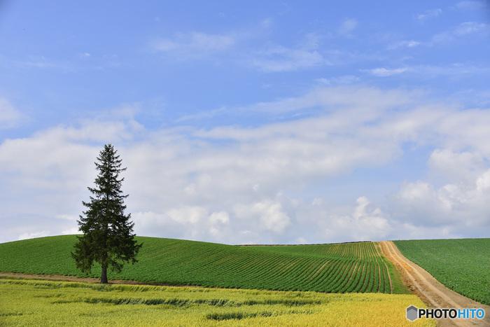 クリスマスツリーの木とは、広大な農地にぽつんと1本だけ立つヨーロッパトウヒです。末広がりをした形と、頂点の枝葉が星のような形をしている姿が「クリスマスツリー」に似ていることからこの木は「クリスマスツリーの木」と呼ばれるようになりました。